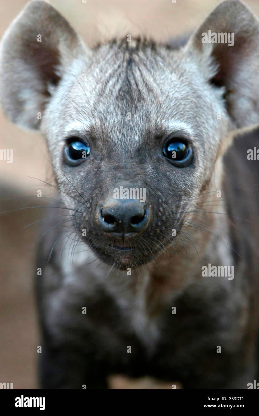 Spotted Hyena Baby (Crocuta crocuta), Kruger National Park, South Africa Stock Photo