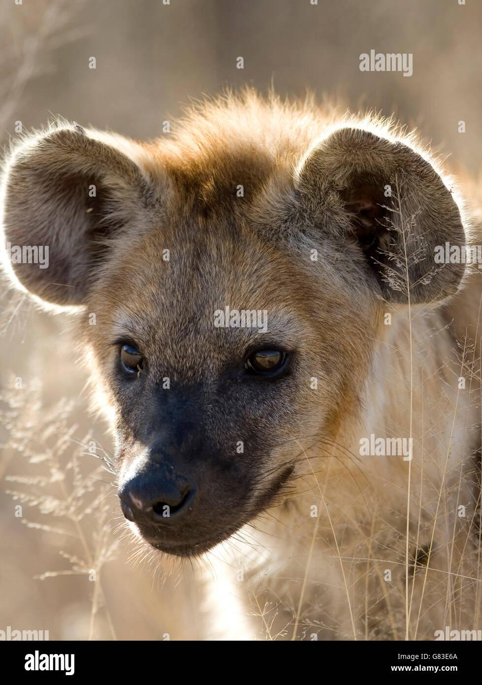 Spotted hyena (Crocuta crocuta), Kruger National Park, South Africa - Stock Image