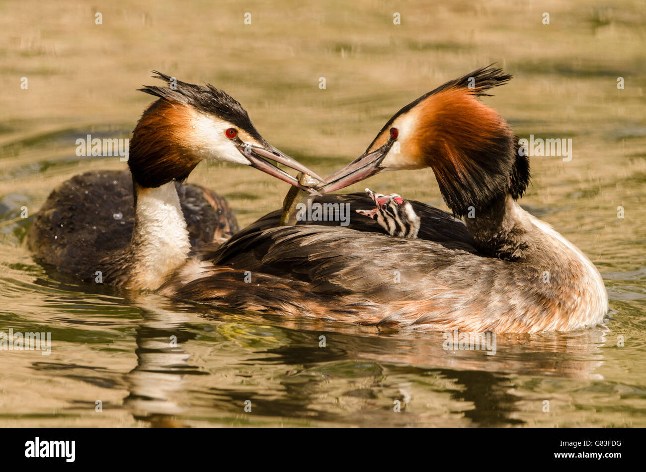 Great Crested Grebes (podiceps cristatus) - Stock Image
