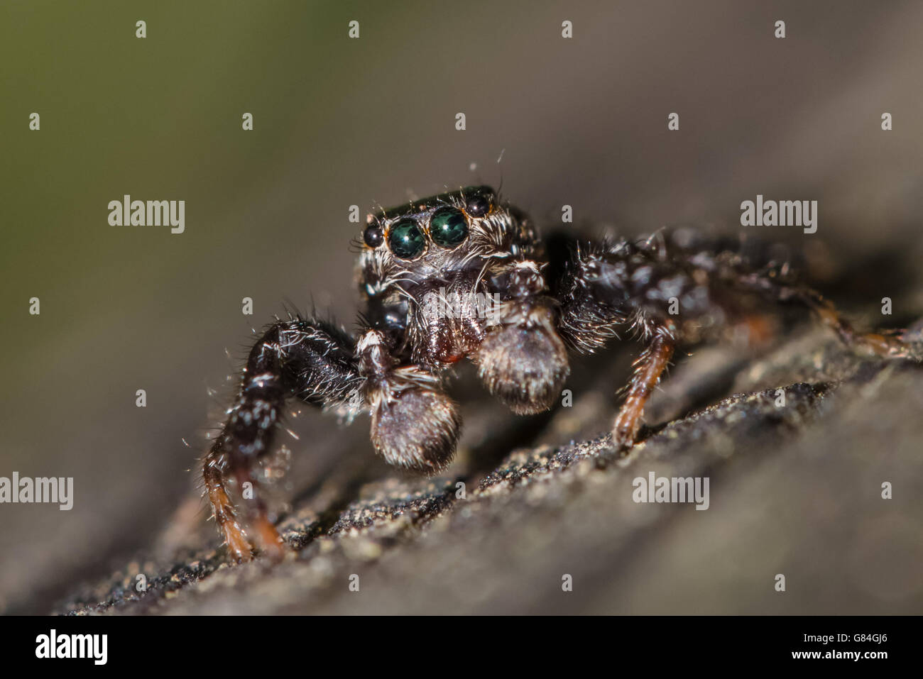 Fencepost jumping spider - Marpissa muscosa - close-up (male). - Stock Image