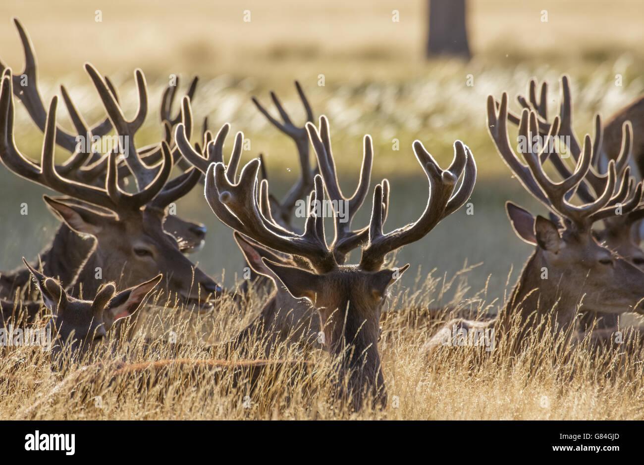 Red Deer stags (Cervus elaphus) resting in the long grass, in velvet antlers. - Stock Image