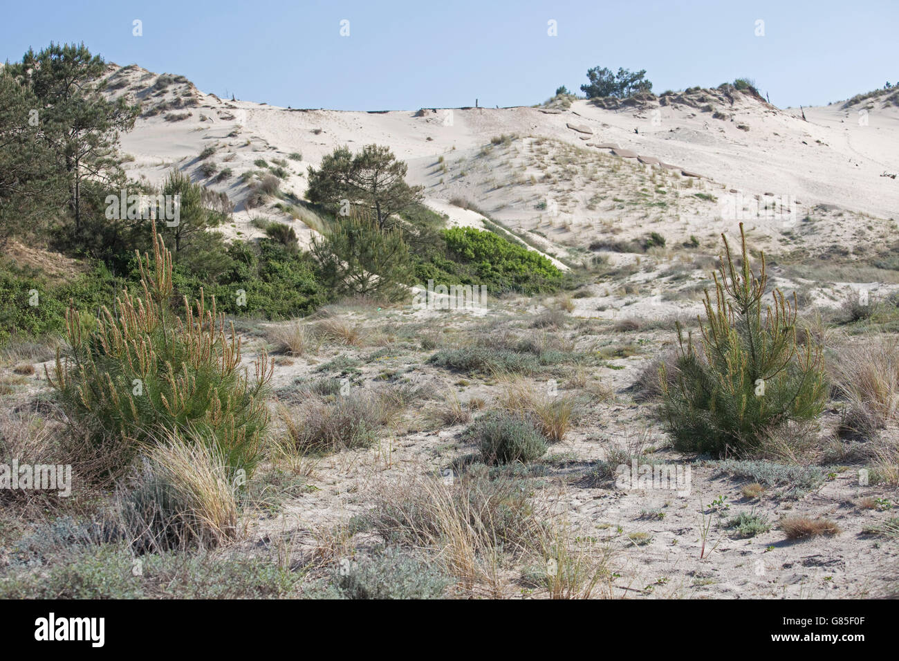Pine trees and marram grass recolonising sand dunes Dune of Pyla Southern France - Stock Image