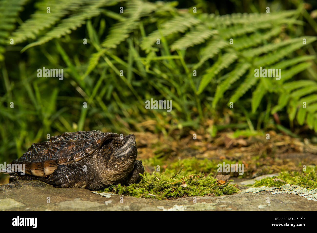 A close up of a baby snapping turtle. Stock Photo