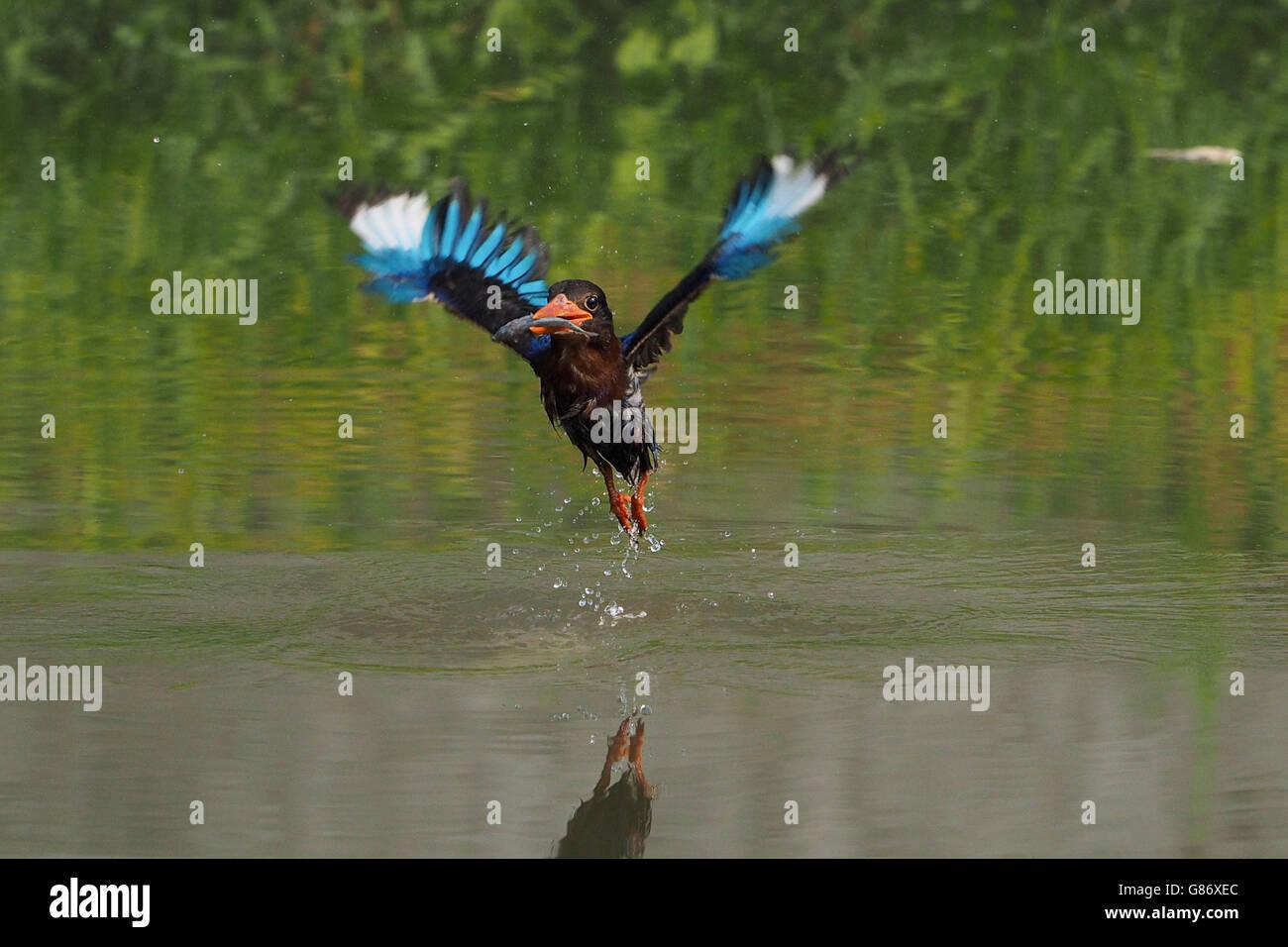Kingfisher bird catching fish in river, Jember, Indonesia - Stock Image