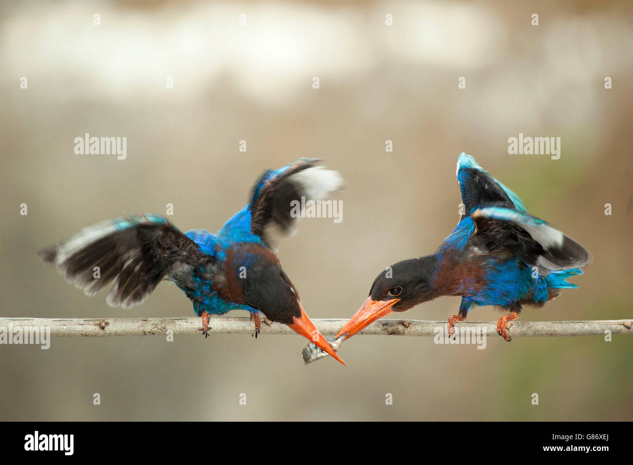 Two kingfisher birds on branch feeding on fish - Stock Image