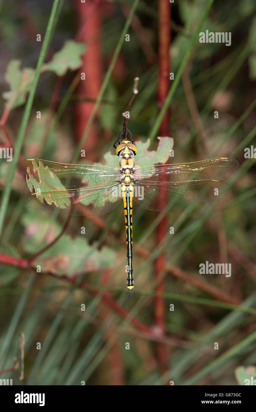 photos dragonfly emerald stock photo image hemicordulia australian australiae