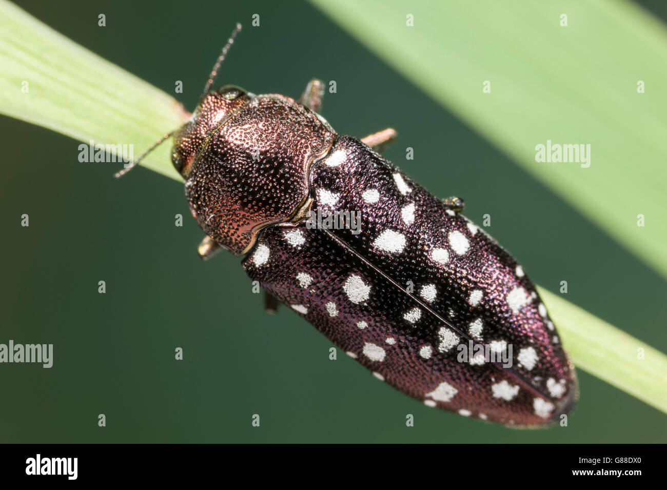 Bronze coloured Jewel Beetle with white spots on Acacia plant - Stock Image