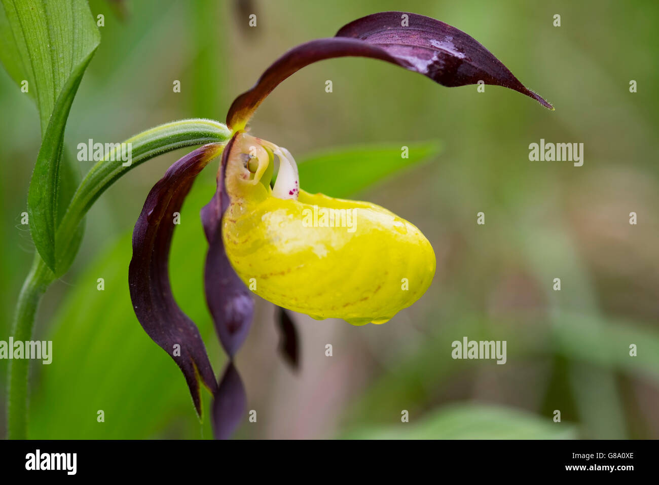 Yellow Lady's Slipper Orchid (Cypripedium calceolus) with water drops, nature reserve Isarauen, Pupplinger Au, - Stock Image