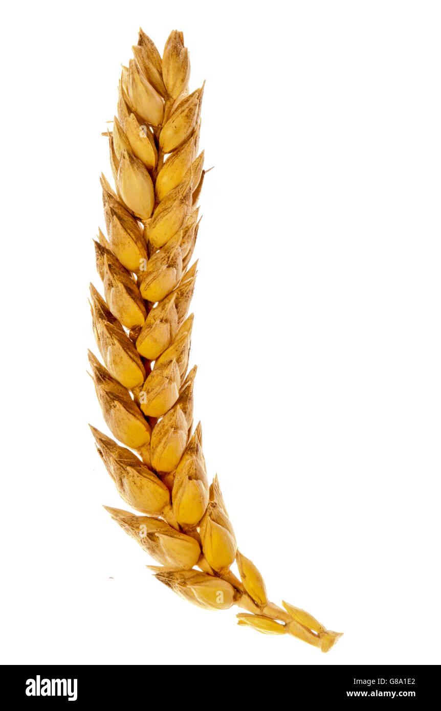 Ear of corn - Stock Image