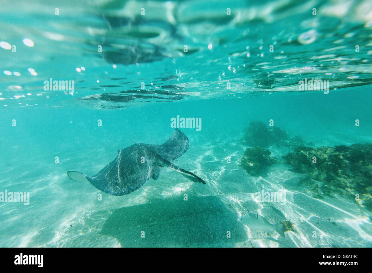 Stingray swims in the bay of Stingray City a sanctuary for marine species Caribbean Antigua Leeward Islands West - Stock Image