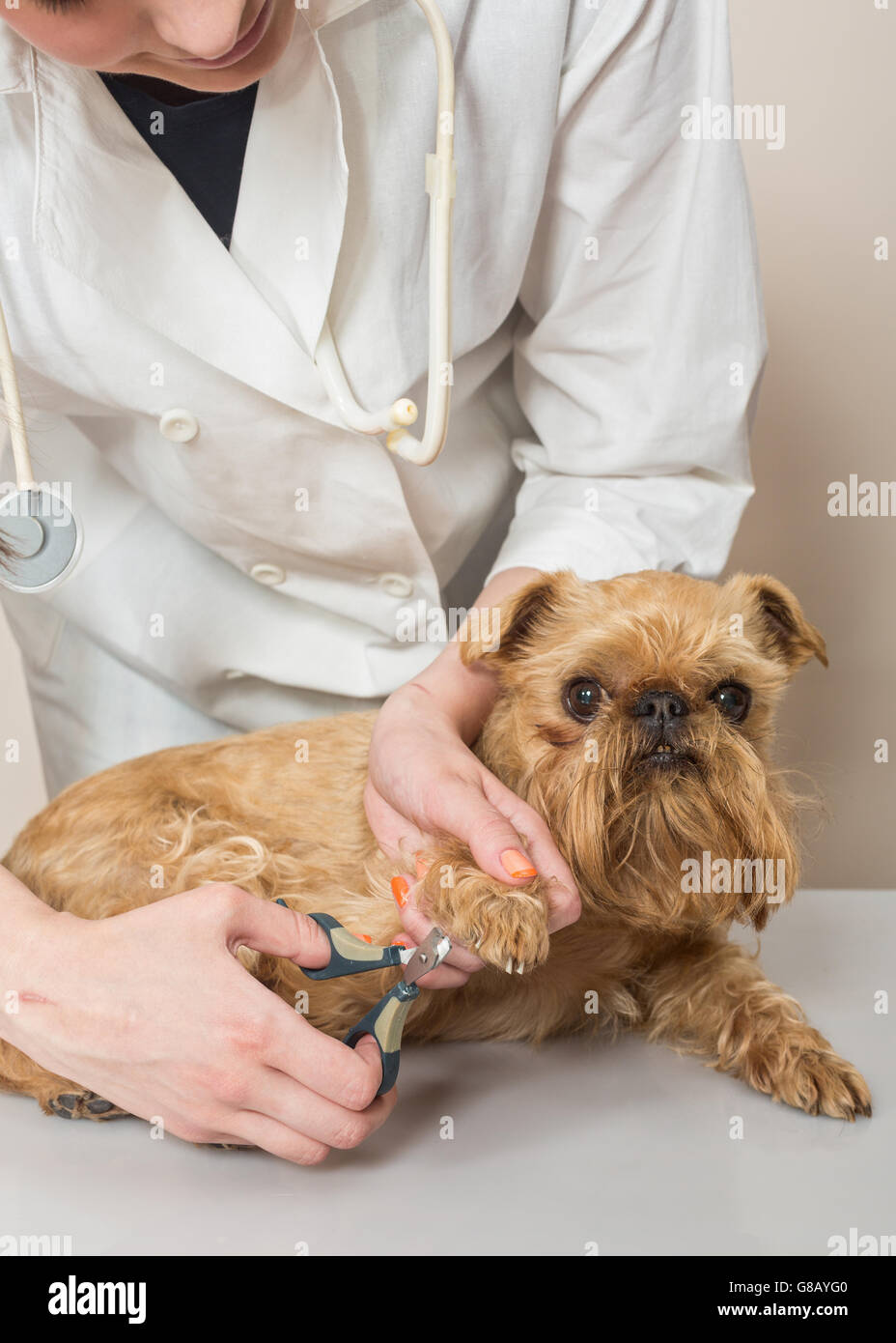 Veterinarian cuts claws to a small dog Griffon - Stock Image