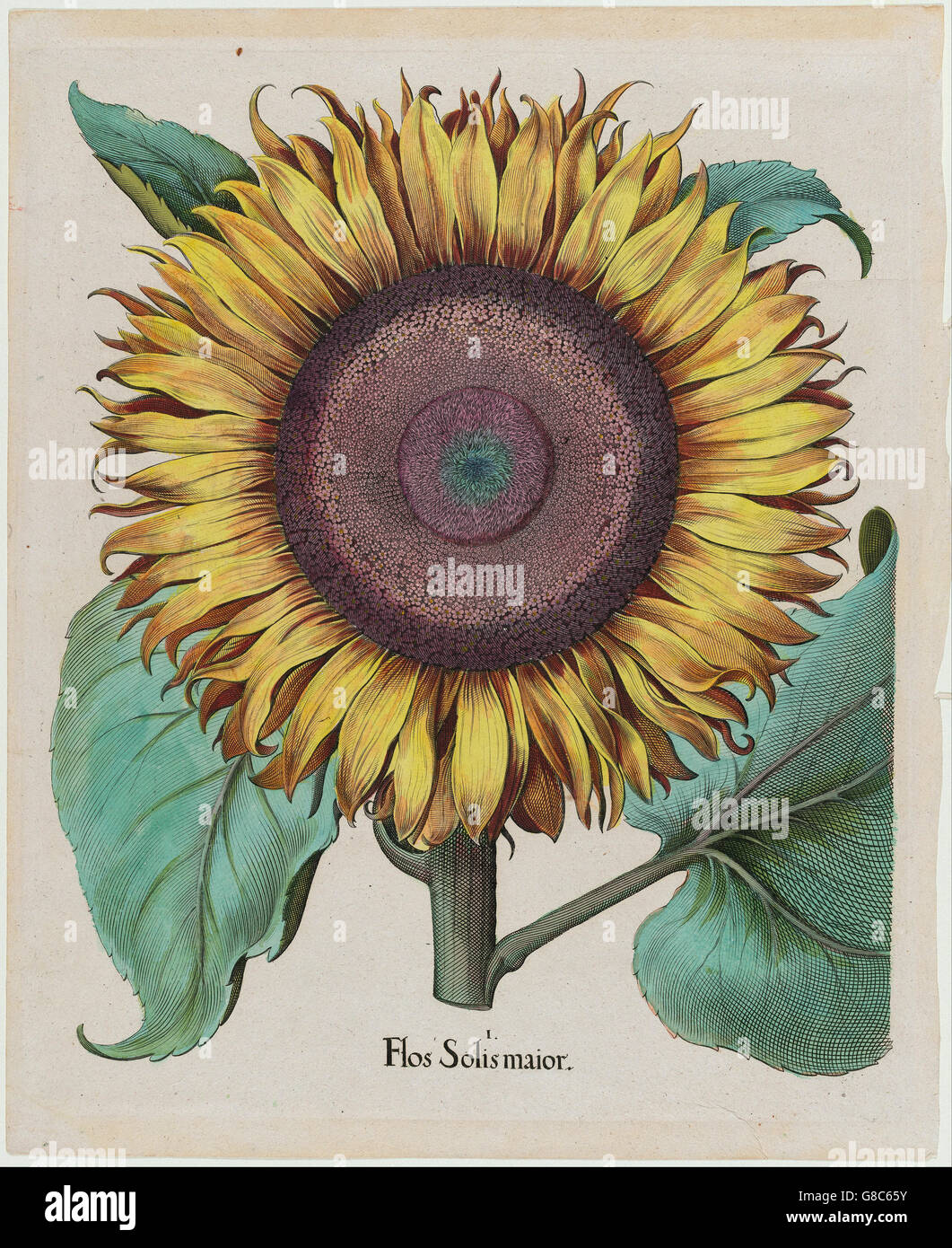 Unidentified artist - Large Sunflower (Flos Solis Maior), plate 1 from part 5, B. Besler - Stock Image