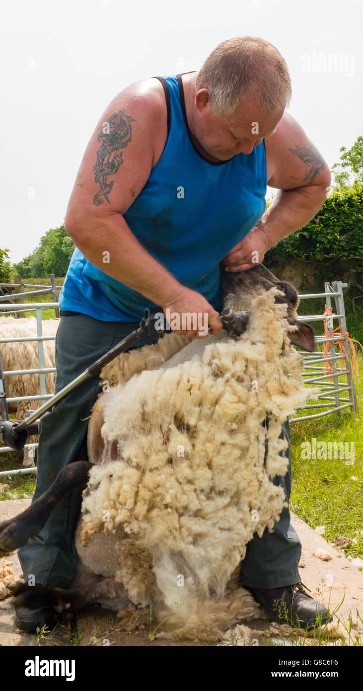 sheep shearing by local farmer - Stock Image