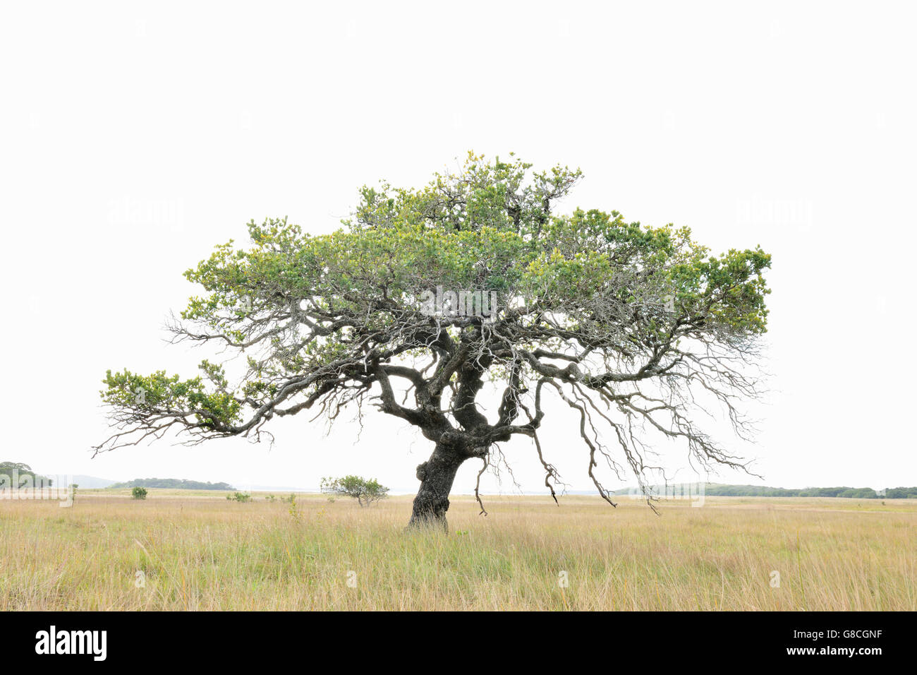 Highkey bright white tree, Maputo Special Reserve; Mozambique. - Stock Image