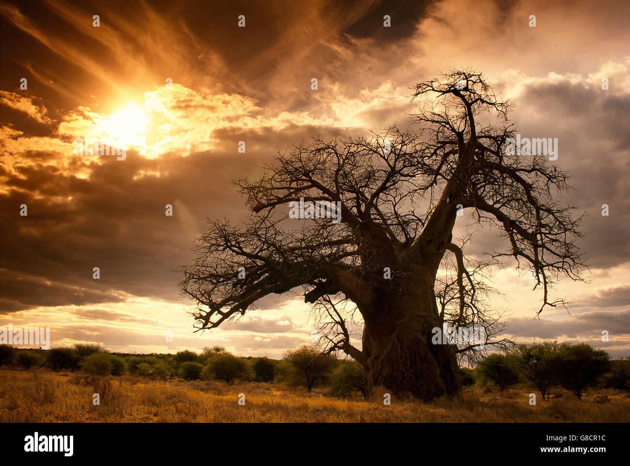 Baobab tree & golden sunlight, South African World Heritage Site, The Kingdom of Mapungubwe, South Africa. - Stock Image