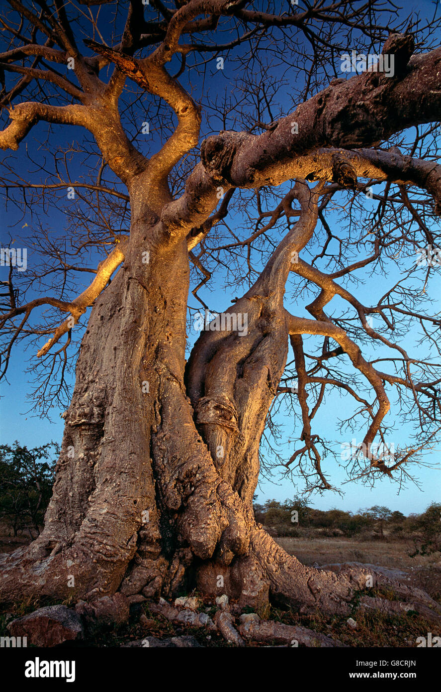 Baobab tree in the evening, Alldays, Limpopo Province, South Africa. - Stock Image