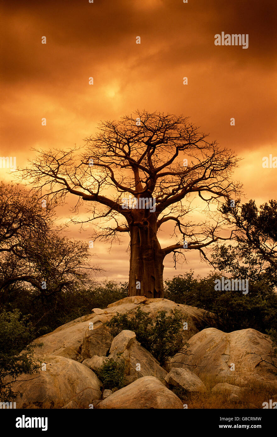 Baobab tree under golden orange overcast sky, South Africa. - Stock Image