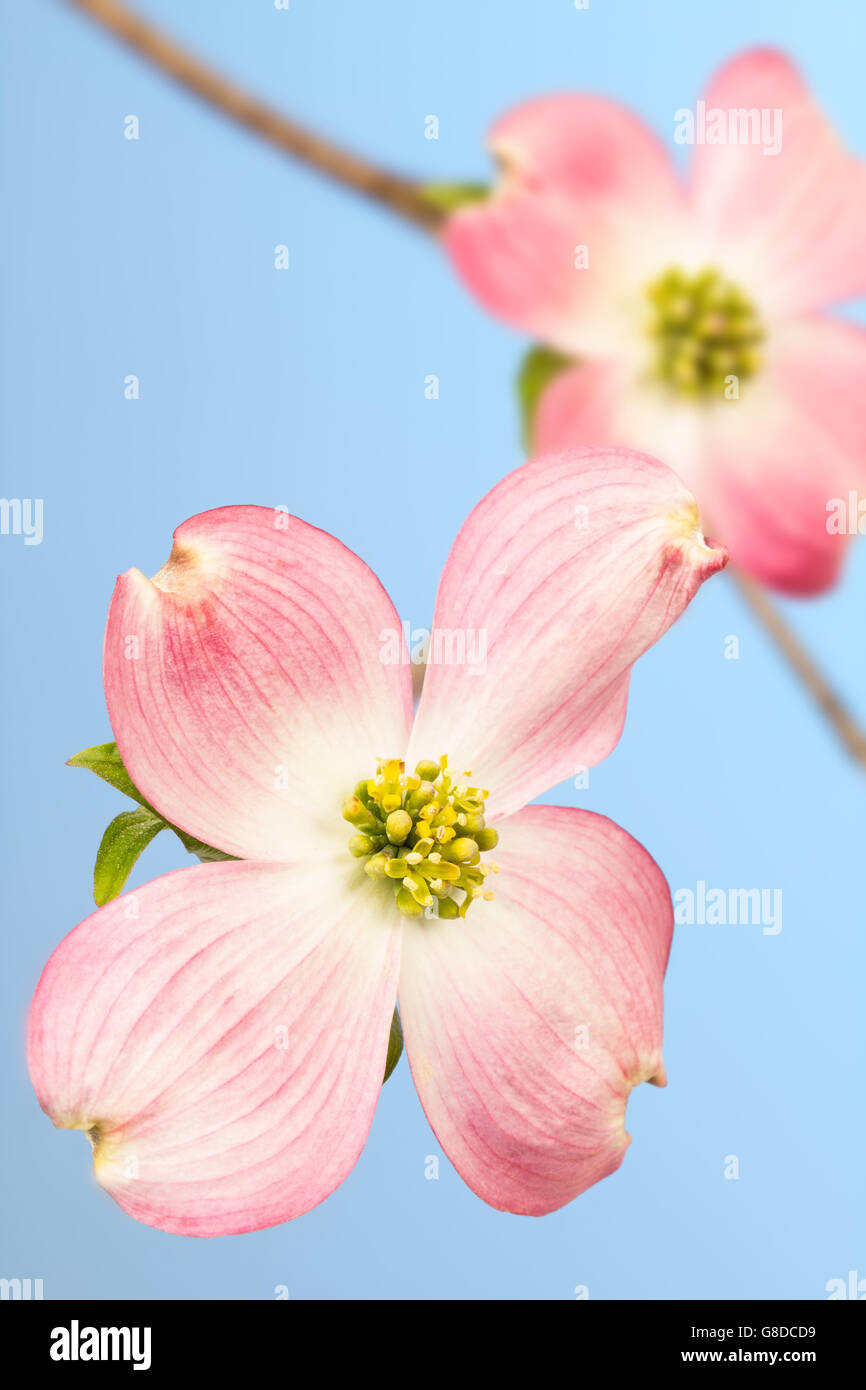Pink And Cream Bracts And Green Flowers Of Dogwood Tree On Sky Blue