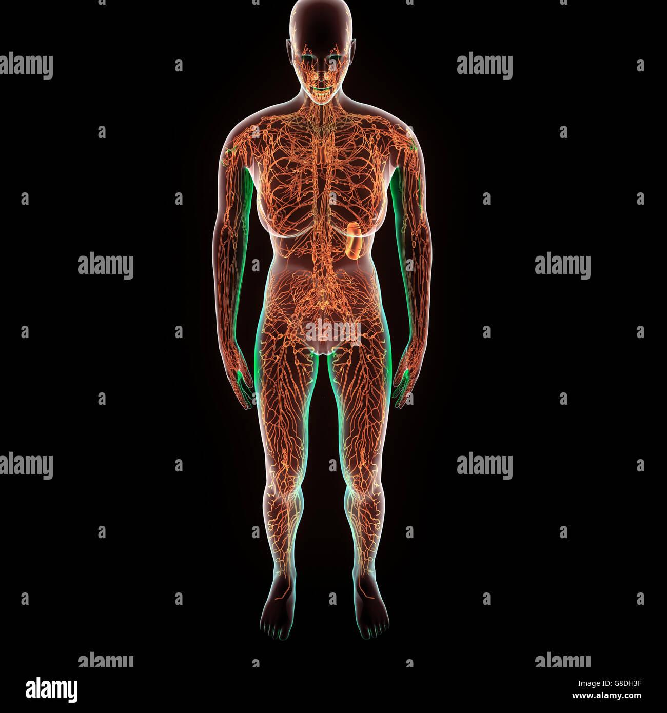 3d illustration of human body Nervous System anatomy Stock Photo ...
