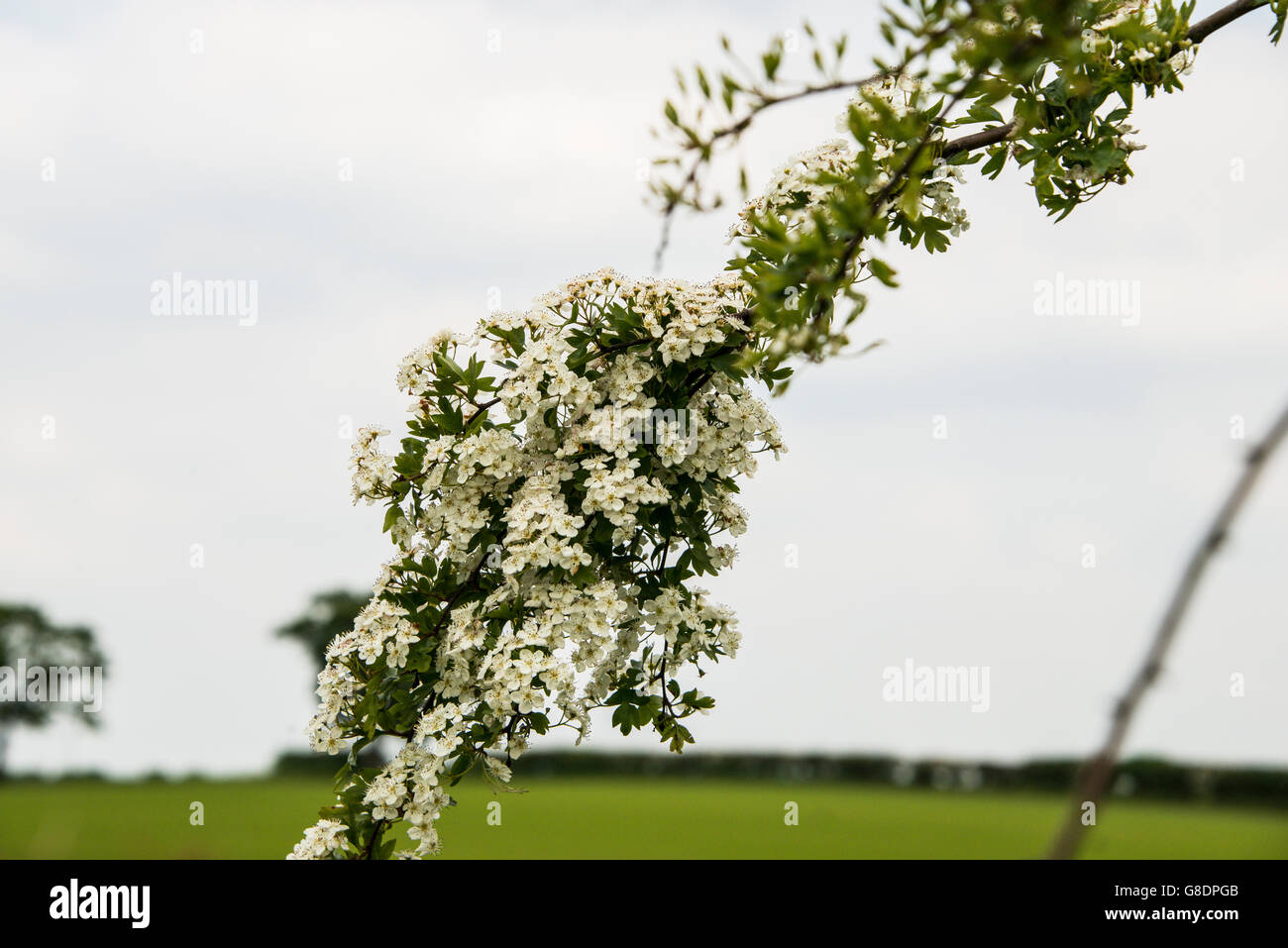 The branch of a hawthorn tree in blossom - Stock Image