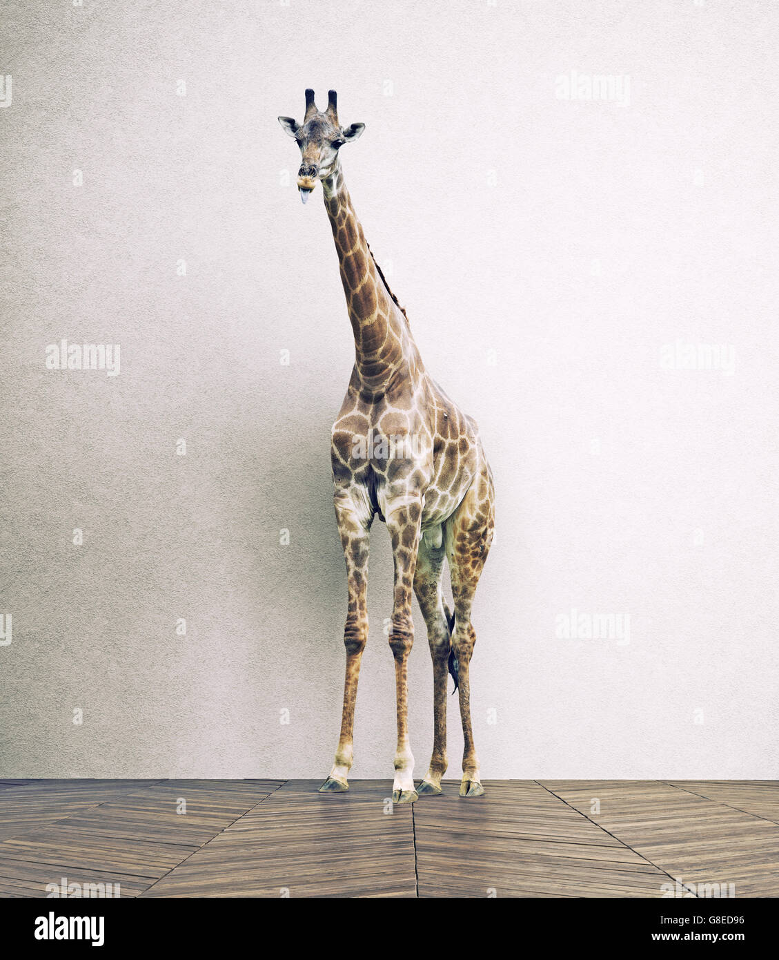the giraffe baby  in the white room. Photo combination concept - Stock Image