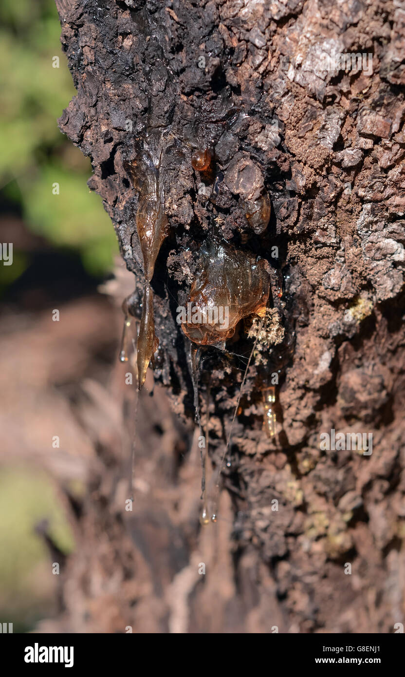 tree sap resin dropping from bark - Stock Image