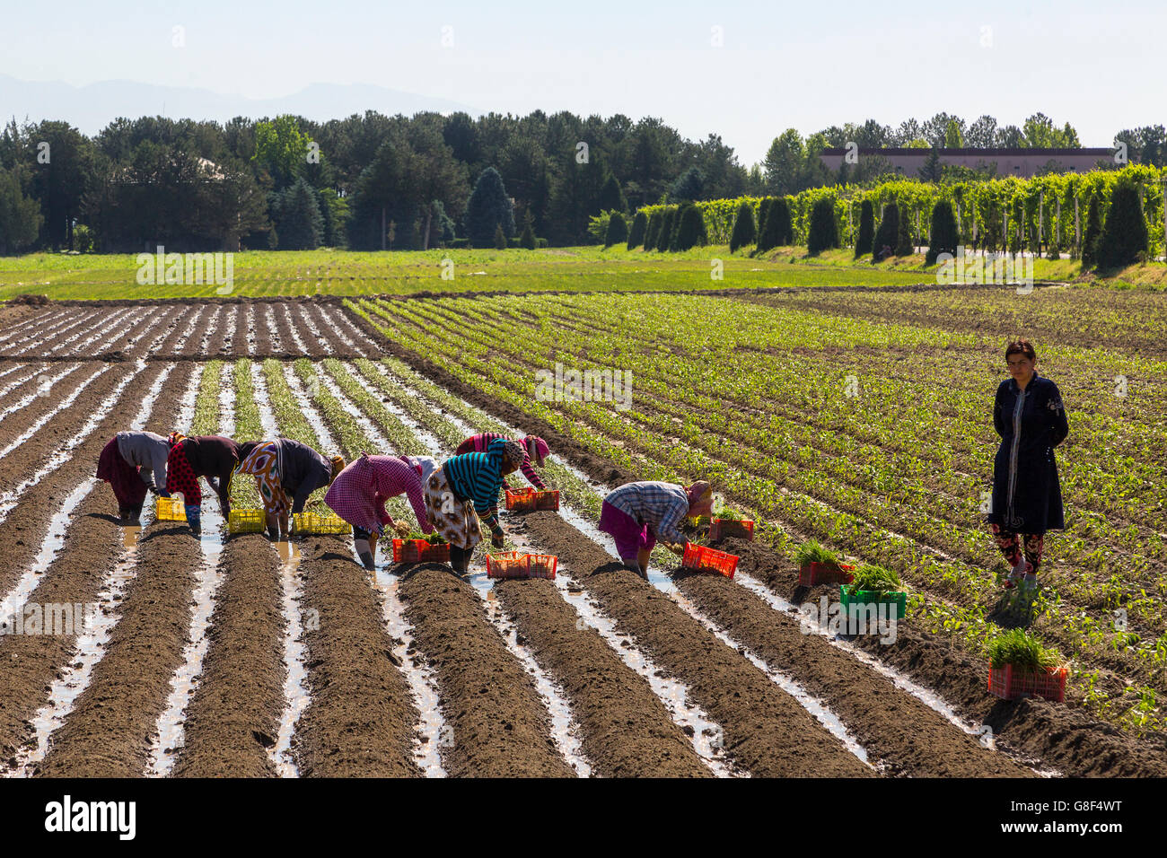 Women working in the field and planting onions. - Stock Image