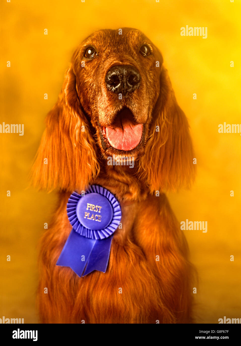 Portrait of Irish Setter close-up with award looking directly into camera - Stock Image
