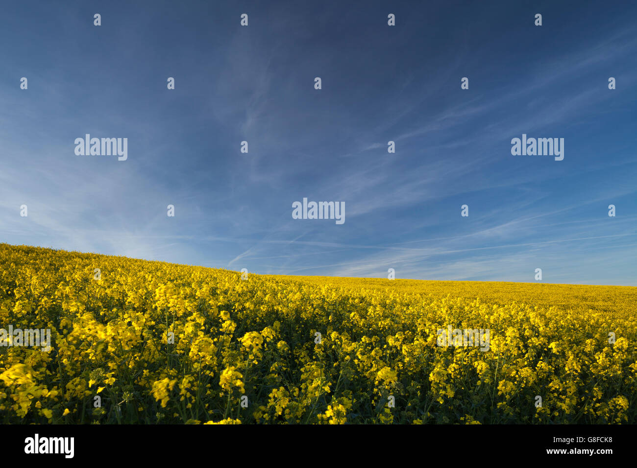 A field of bright yellow flowering oilseed against a blue sky and light, fair-weather cloud in Northamptonshire, - Stock Image