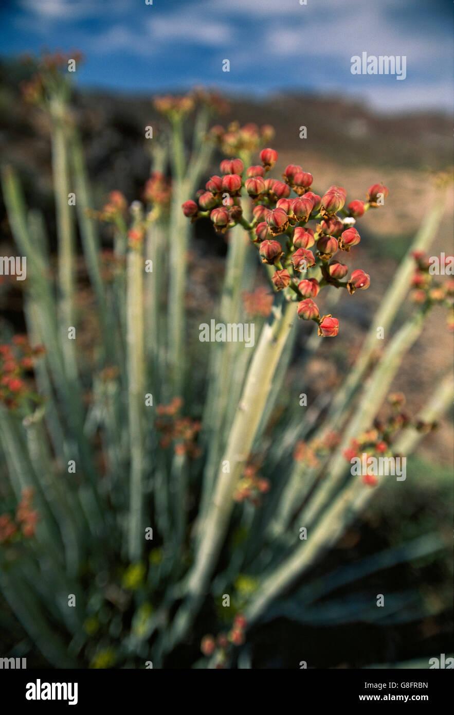 Gifmelkbos flowers, (Euphorbia mauritanica), South Africa. Stock Photo