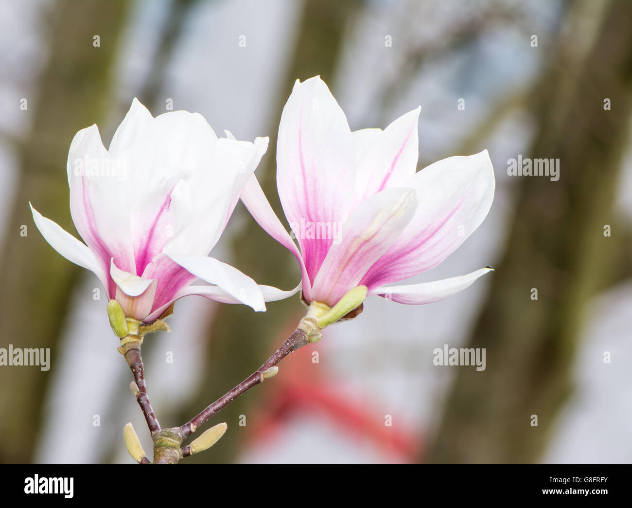 Twig of a flowering magnolia tree with white blossoms - Stock Image