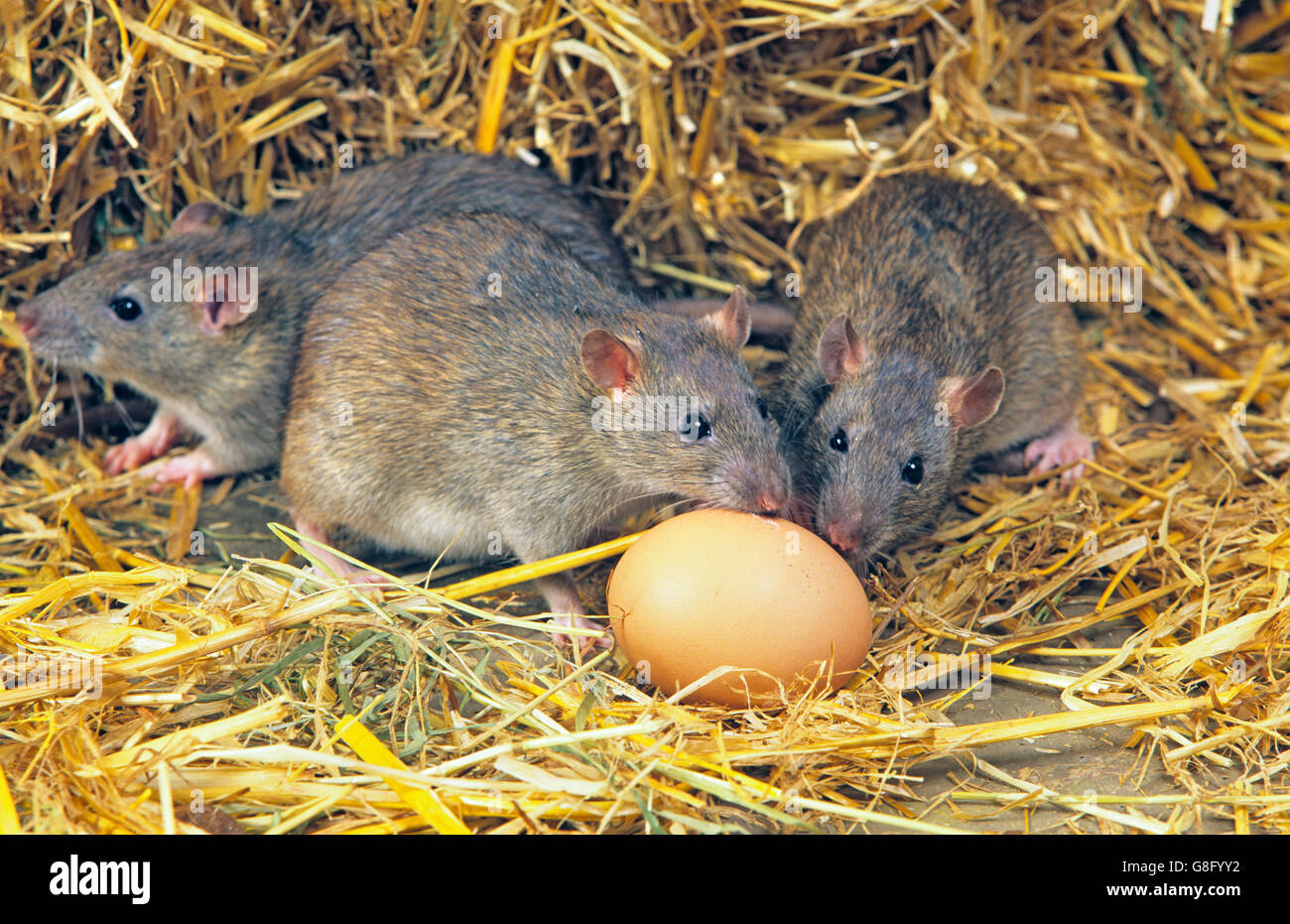 Brown Rats Rattus norvegicus eating chickens egg in poultry farm - Stock Image