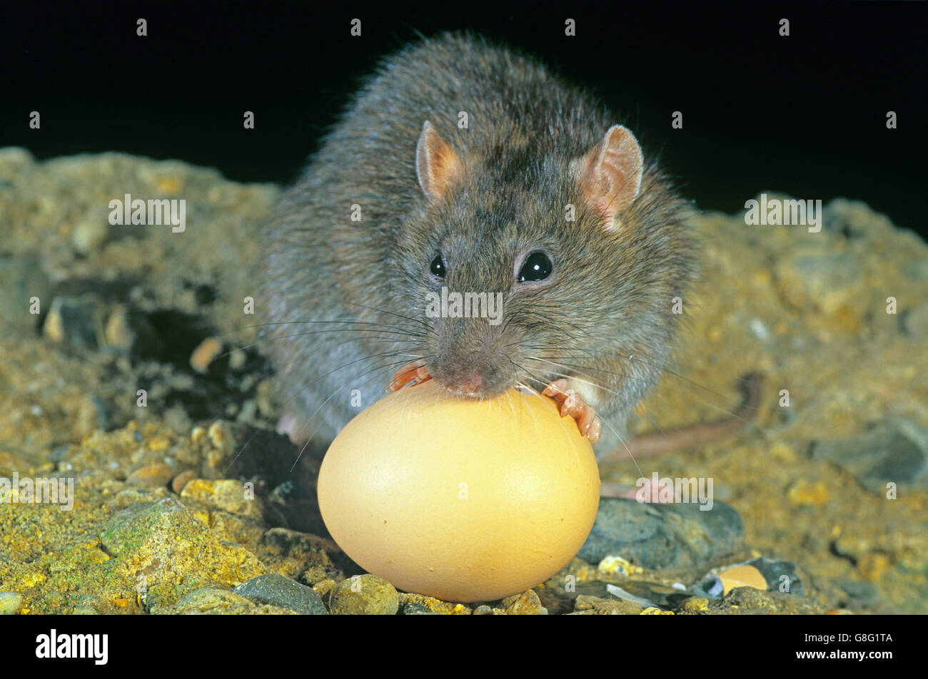 Brown Rat Rattus norvegicus eating chickens egg in poultry farm - Stock Image