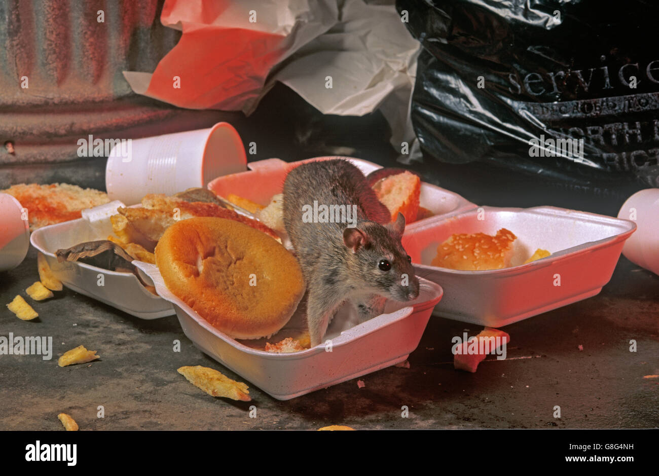 Brown Rats Rattus norvegicus eating contents of overturned rubbish bin - Stock Image
