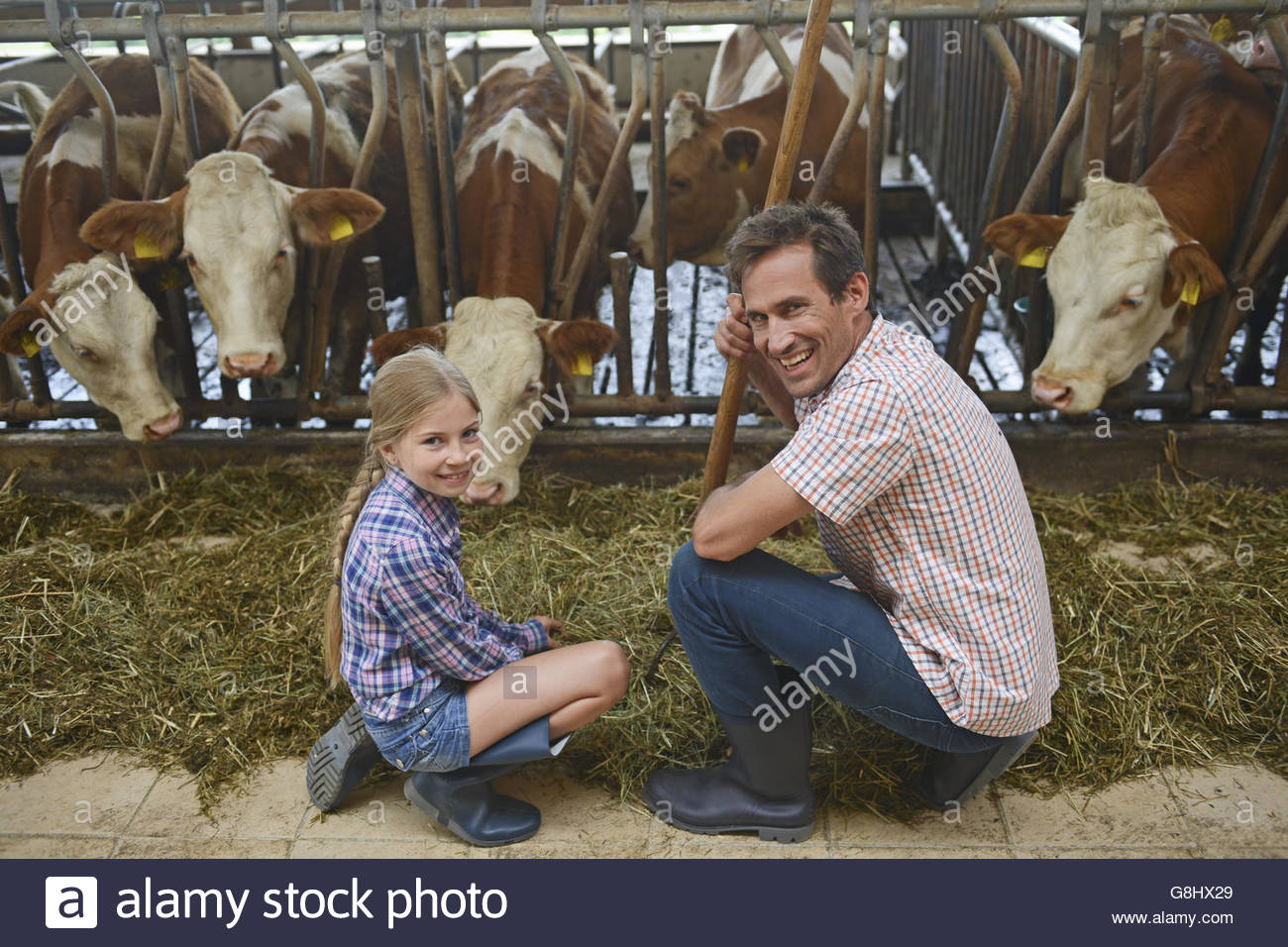 Father and girl crouching by cattle in barn - Stock Image