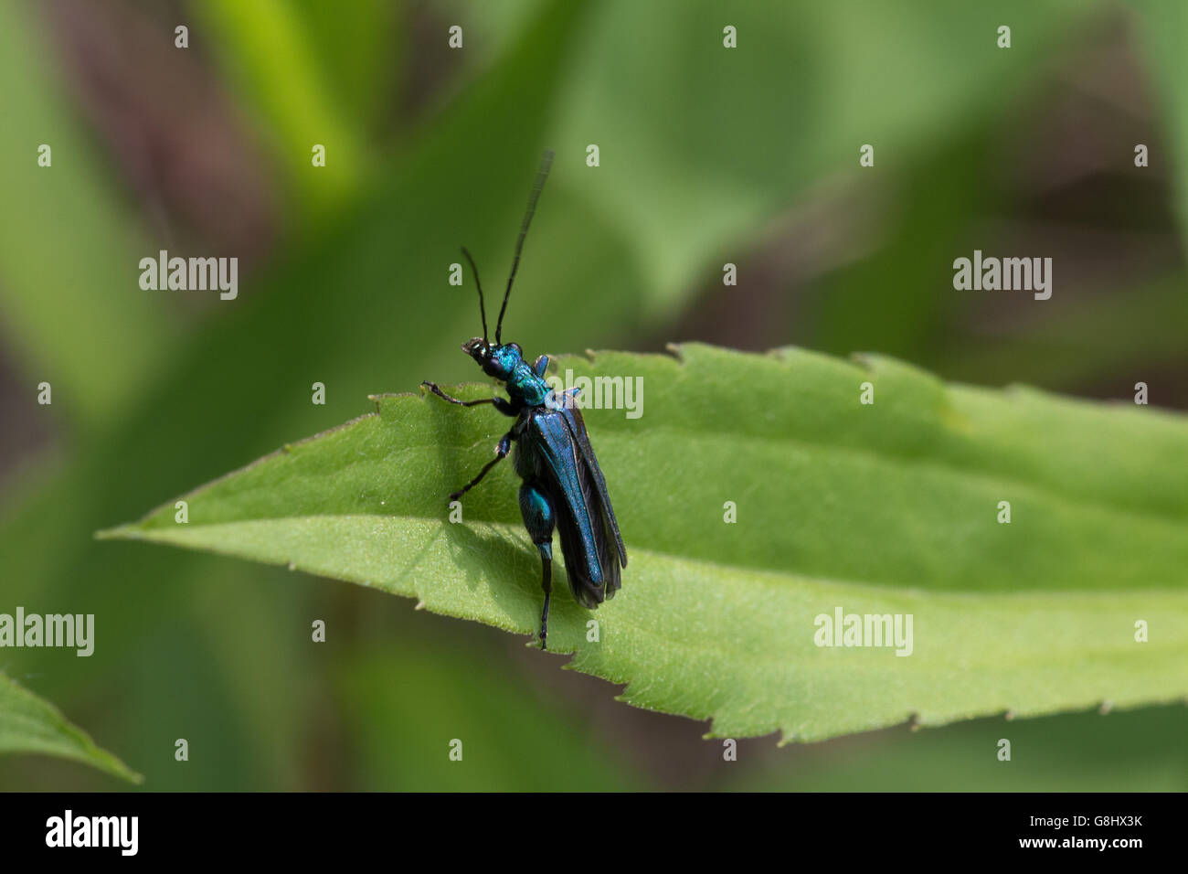 Grüner Scheinbockkäfer auf einen Blatt  Green false blister beetle on a leaf - Stock Image