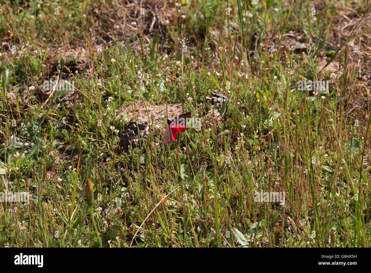 Jakobskrautbär auf einer Wiese in der Wulmstorfer Heide  Cinnabar moth on a meadow at the Wulmstorfer heathland - Stock Image