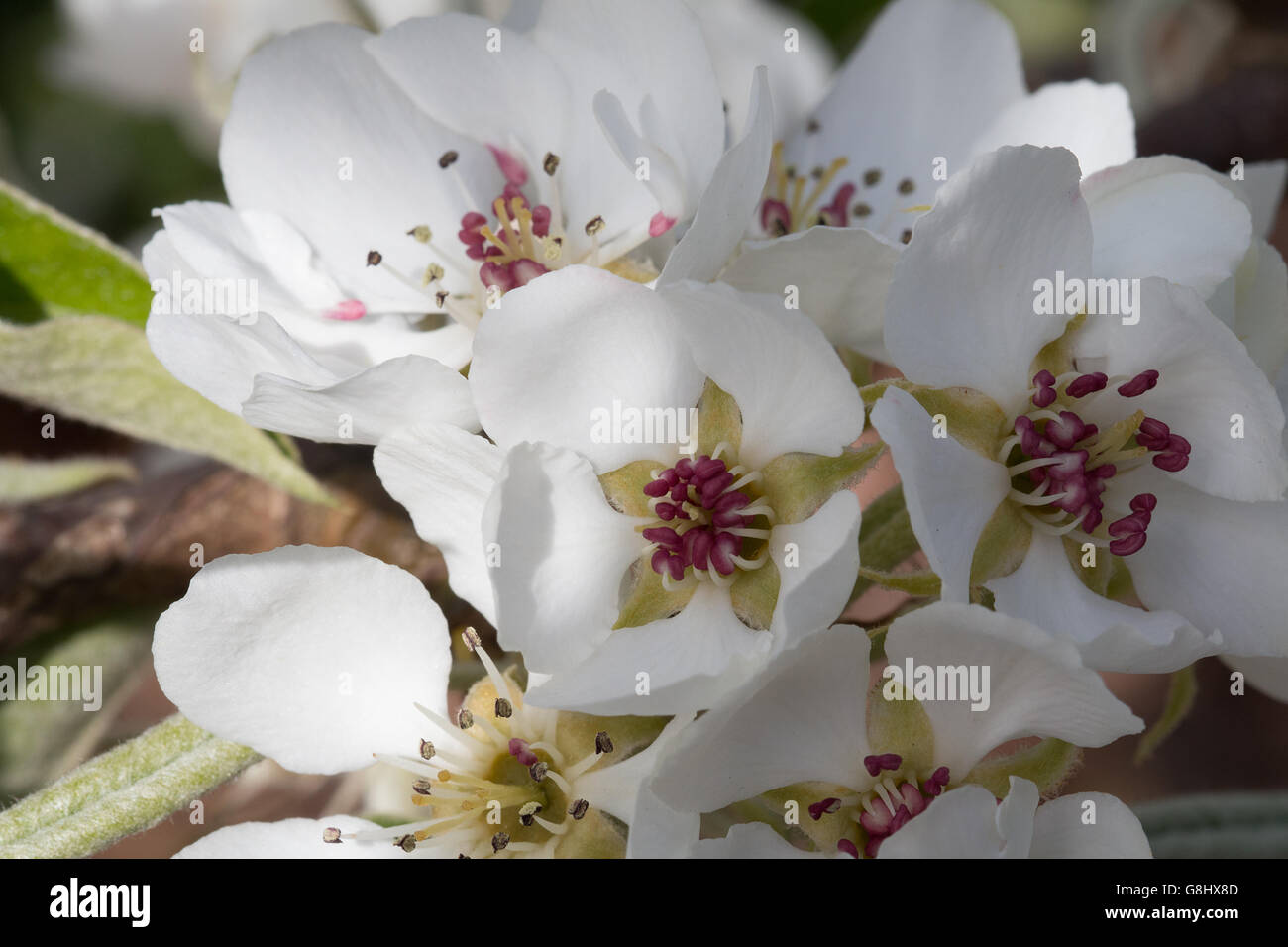 Mehrere Birnenblüten im Frühling, Makro  Several Pear blossom in spring, macro - Stock Image