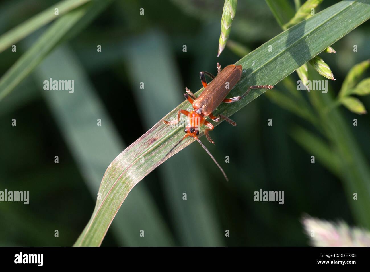 Roter Weichkäfer auf einen Grashalm  Common red soldier beetle on a blade of grass - Stock Image