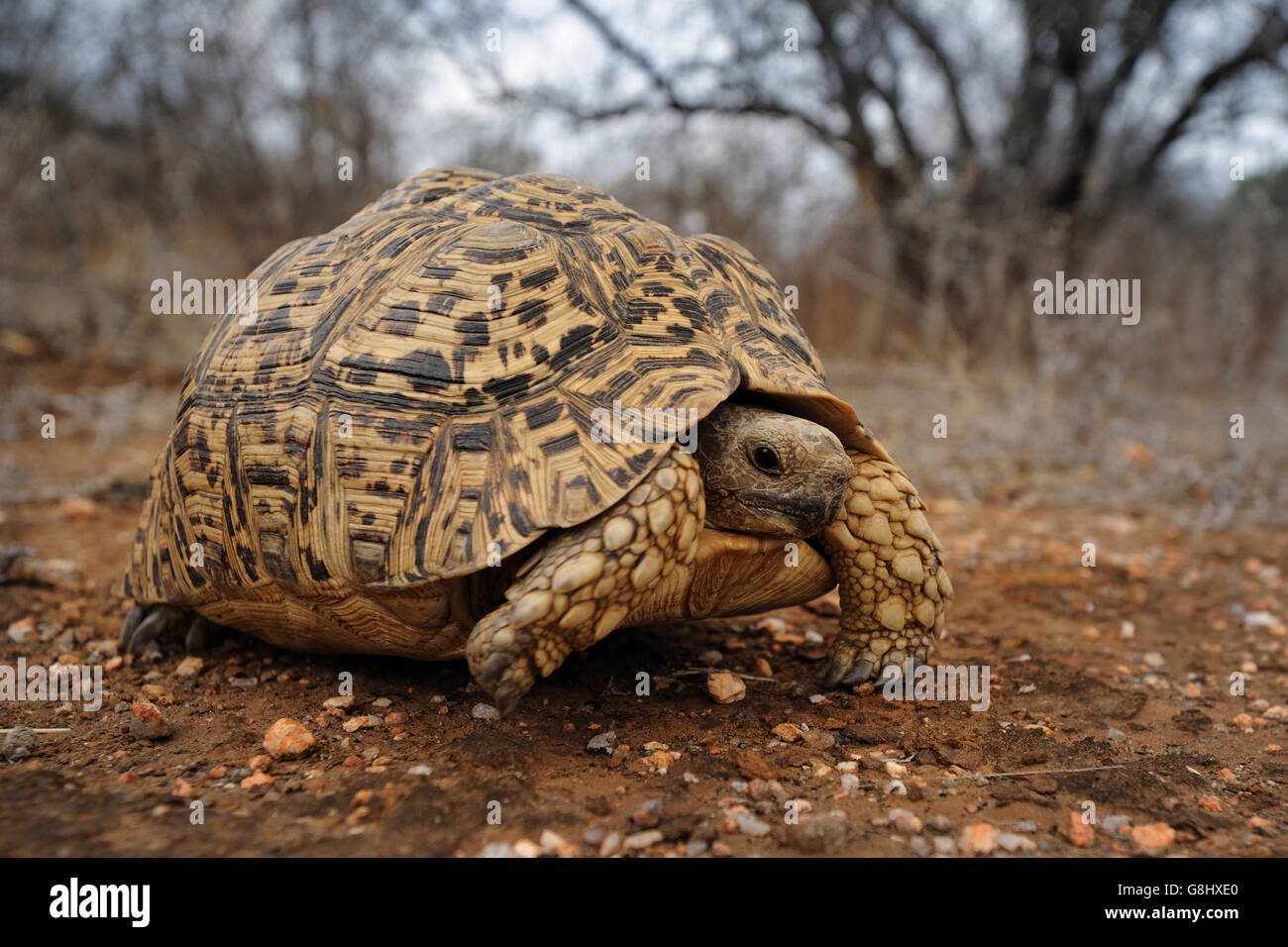 Mountain tortoise, Geochelone pardalis, South Africa. - Stock Image