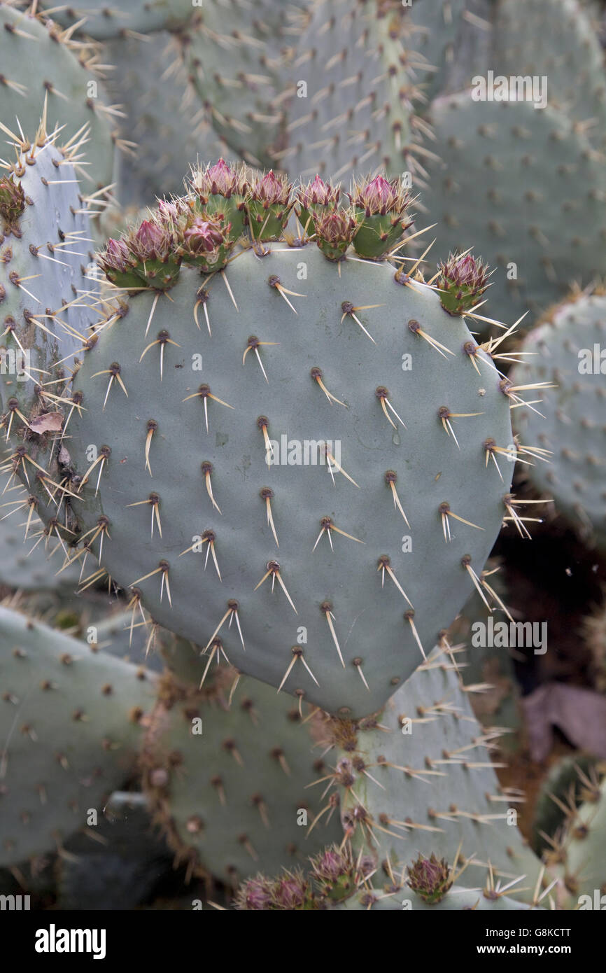 Prickly pear or Opuntia with spines and flowers France - Stock Image