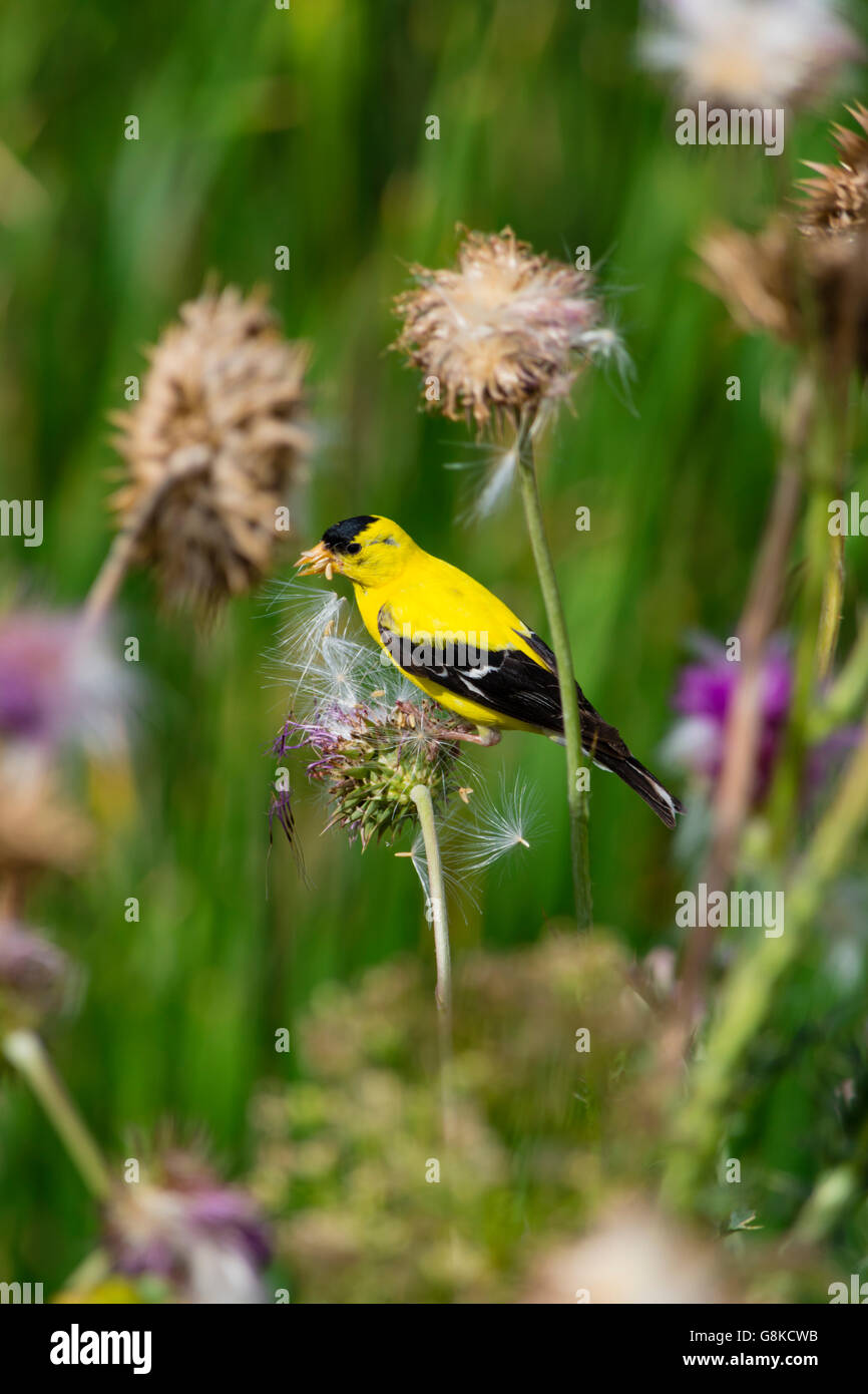 Male American goldfinch (Spinus tristis) collecting seeds from thistle plant, Aurora Colorado US. - Stock Image