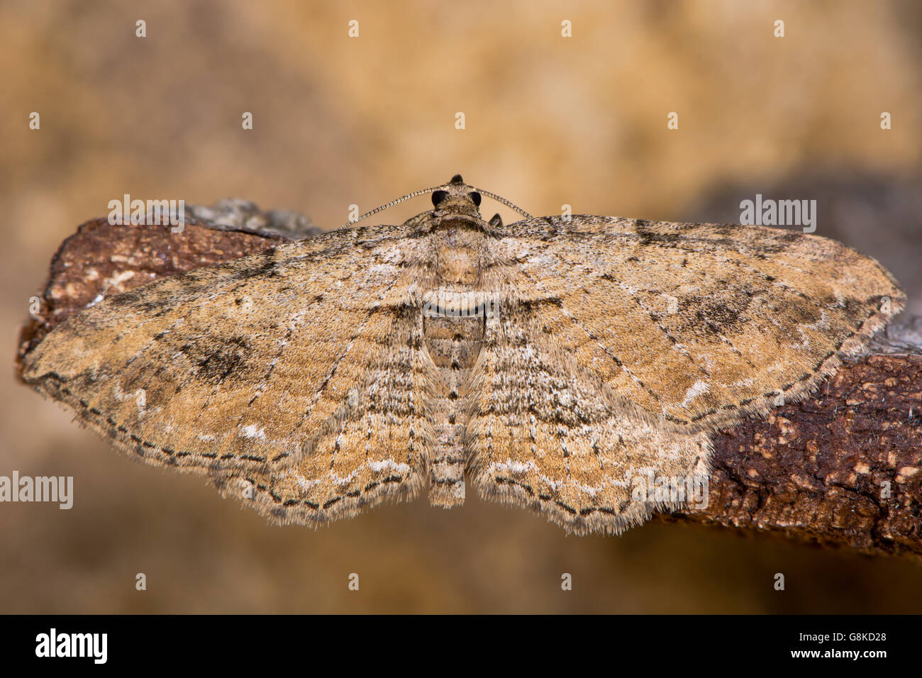 The fern moth (Horisme tersata). Insect in the family Geometridae, showing indistinct markings - Stock Image
