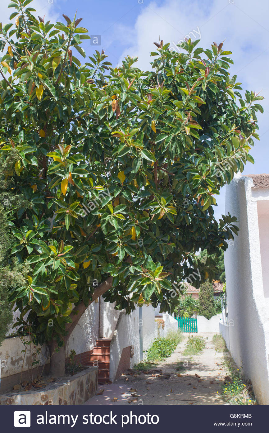 (Ficus Elastica), Rubber Fig, Catalonia, Spain