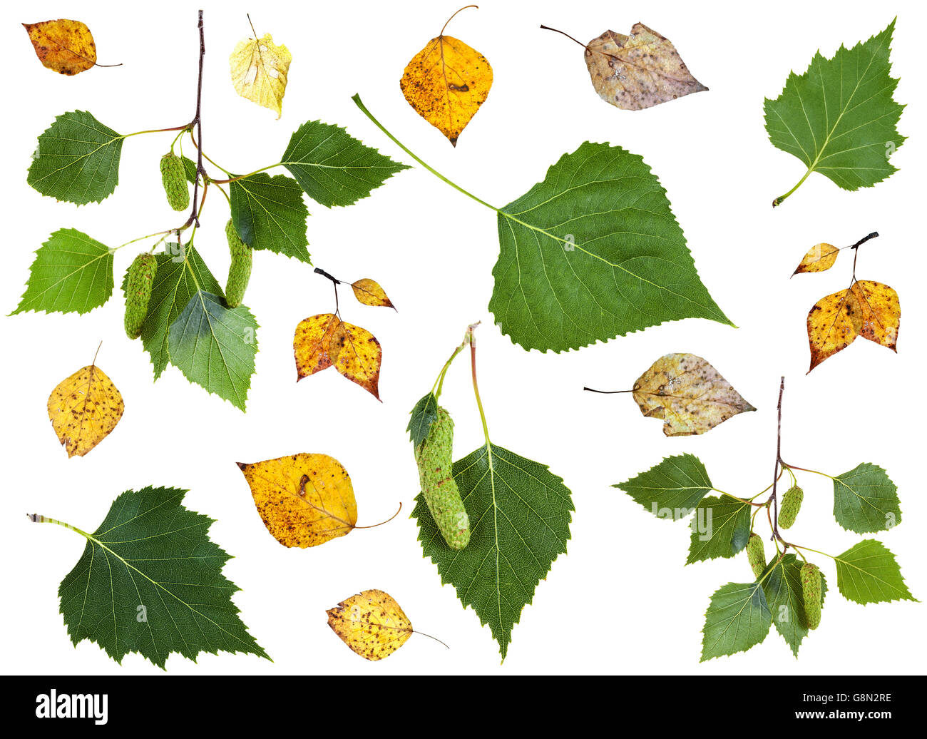 set of summer green and autumn yellow birch leaves isolated on white background - Stock Image
