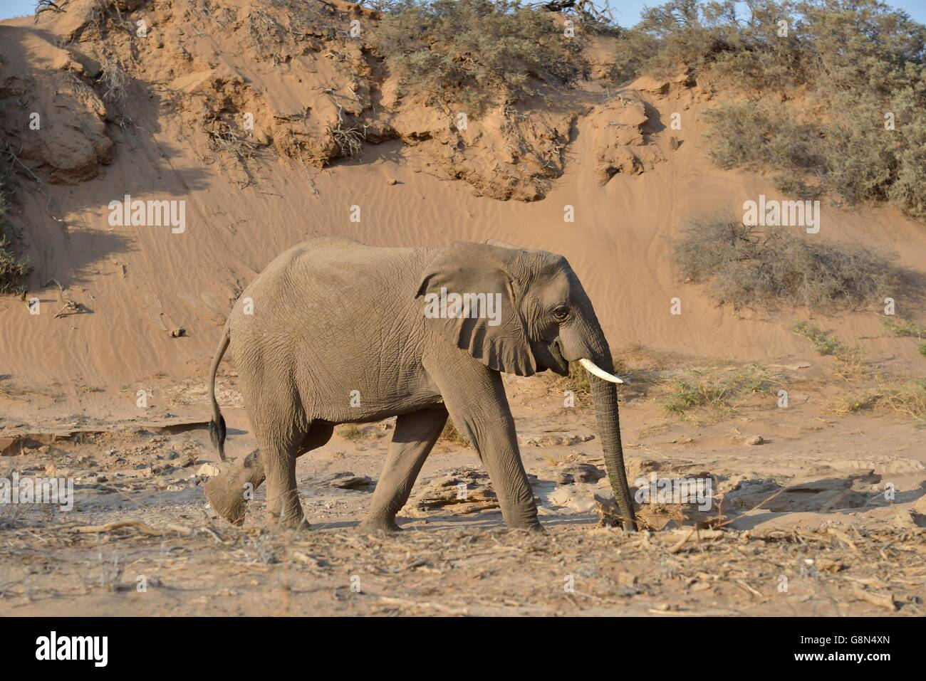 Desert elephant, African elephant (Loxodonta africana), mining with his beak to water, dry riverbed of the Huab, - Stock Image