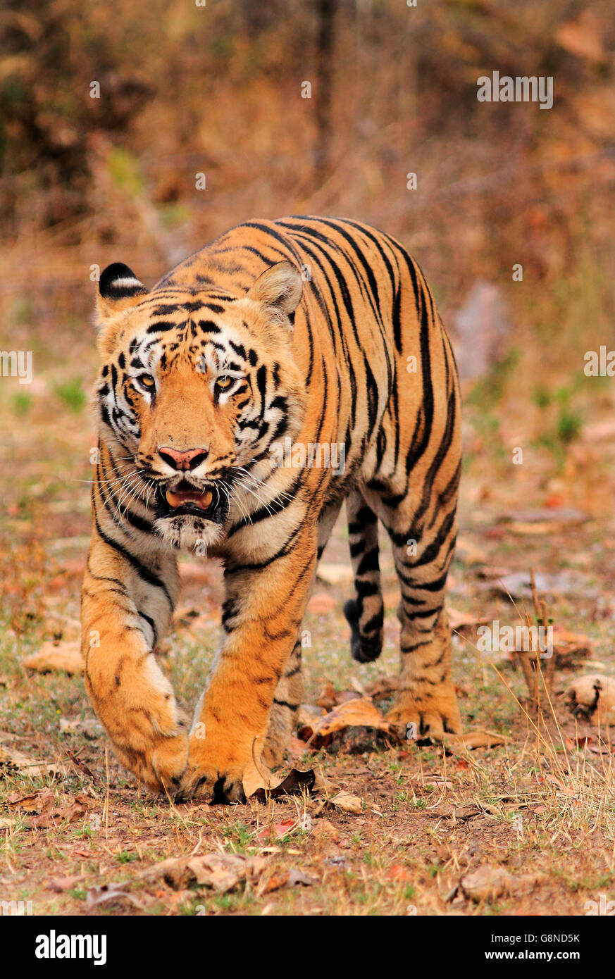 A royal Bengal Tiger named Gabbar In India - Stock Image