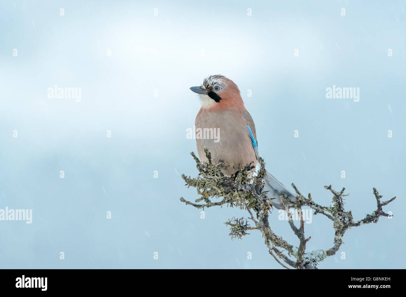 Jay (Garrulus glandarius) perched at a branch, Lauvsness, Flatanger, Norway. - Stock Image