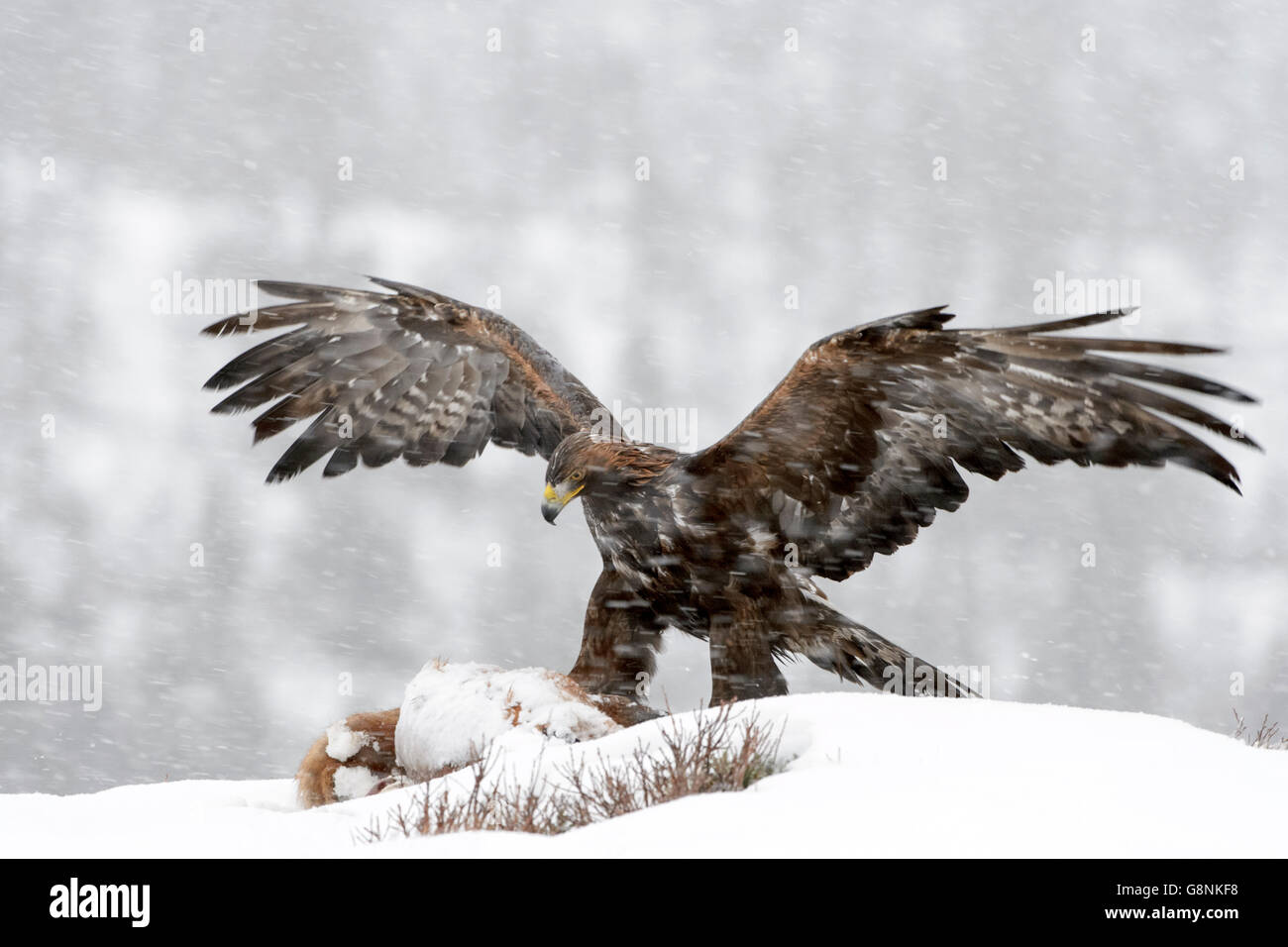 Golden Eagle (Aquila chrysaetos) adult, feeding during blizzard,, scavenging at carcass in snow, protecting it with - Stock Image