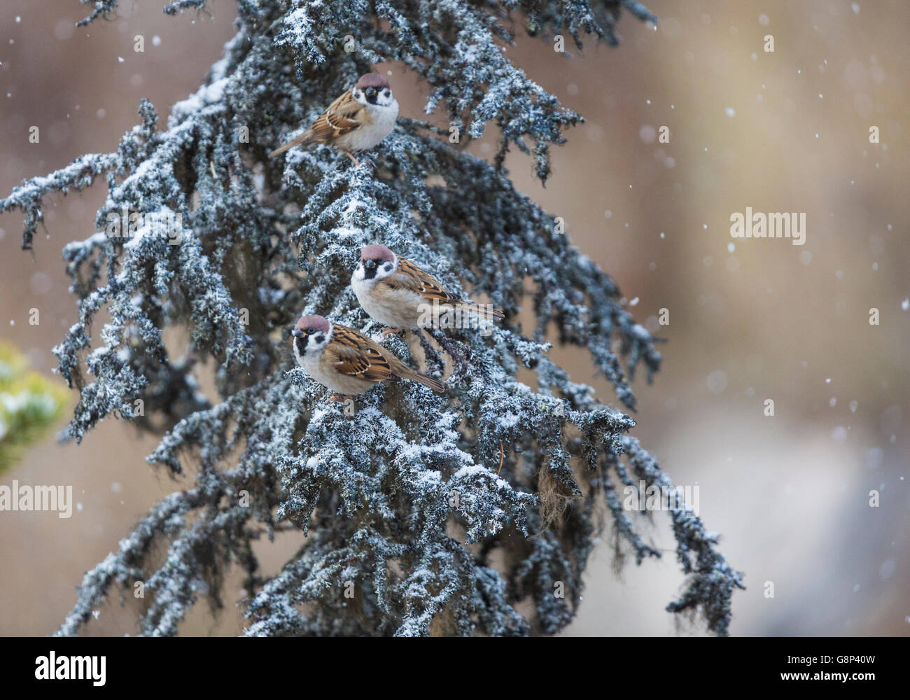 Three Tree sparrows sitting in an old spruce tree and it is snowing, Gällivare, Swedish Lapland, Sweden - Stock Image